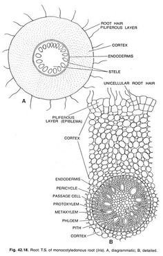 dicot root diagram schematic of or gate detailed structure a portion naveen pinterest biology classroom cross section study tips