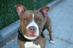 MURDERED 9/28/16 Manhattan Center My name is DEEBO. My Animal ID # is A1090773. I am a male brown and white am pit bull ter mix. The shelter thinks I am about 6 YEARS old. I came in the shelter as a OWNER SUR on 09/22/2016 from NY 10454, owner surrender reason stated was LLORDPRIVA. http://nycdogs.urgentpodr.org/deebo-a1090773/