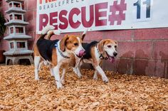 Beagle Freedom Project info, help them stop using these dogs for research!