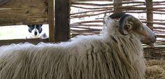Keep the Sheep