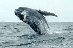 Puerto Lopez, Ecuador. (Season July-August)  Humpback Whale Backflip - by uncorneredmarket, via Flickr