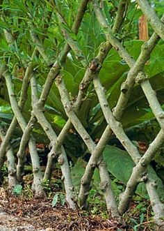 Live Willow Fence - Photo by Nicola Browne