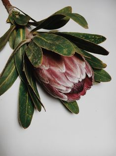 along the way Botanical Drawings, Botanical Illustration, Fleur Protea, Lily Cat, Look Hippie Chic, Protea Flower, Australian Flowers, Mood Images, Ivy House