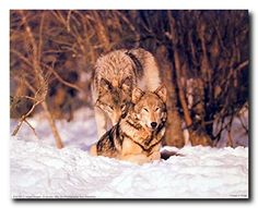Lovely! This stunning piece of art brings beautiful charming character into your home. This poster captures the image of pair of wolf sitting in a snow field is sure to bring wildlife atmosphere into your place. This poster is made of using Eco-solvent inks on high quality paper which ensures long lasting beauty of the product. Order today and enjoy your surroundings.