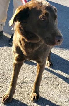 ●TO BE DESTROYED 1•9•18● Animal ID 37345423 Species Dog Breed Retriever, Labrador Age 8 years 1 day Gender Male Size\tLarge Color Chocolate Site Department of Animal Services, City of El Paso Location Kennel A Intake Date 12•9•17