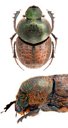 Onthophagus granulatus