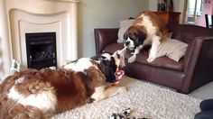 st bernard george and molly play fighting