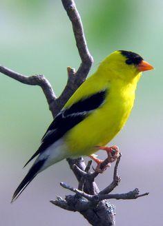 El Pinzón De oro - Washingtons Declara el Pájaro.