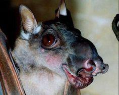 Horse Faced Bat