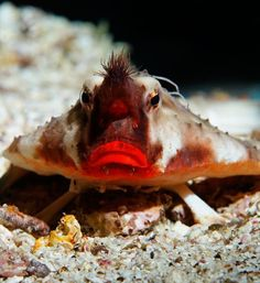Red-Lipped Batfish  The red-lipped batfish doesn't need lipstick to make its puckers stand out. The crusty bottom-dweller's naturally bright red mouth is thought to be an adaptation for helping enhance species recognition during mating.  Don't let those kissable lips fool you: The batfish doesn't just sit around looking pretty. It preys on small fish, shrimp, mollusks and crabs. Batfish are found in the deep sea near the Galapagos Islands and have modified fins that enable them to walk.