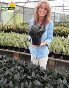 Best Snake Plant/Sansevieria Available. Wholesale Only. Cacti And Succulents, Potted Plants, Wholesale Plants, Sansevieria Plant, Best Indoor Plants, Morning Dew, Ornamental Plants, Snake Plant, All The Way Down