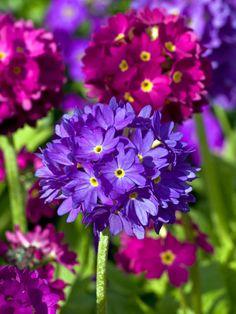 Frühlingshaft: Primeln