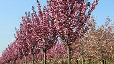 Prunus serrulata 'Royal Burgundy' hochstämmig