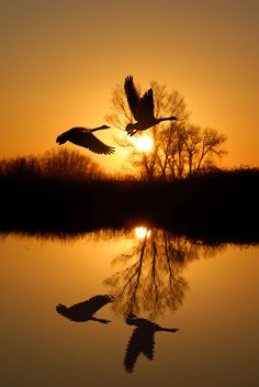 ~ Autumn ~ Geese Silhouettes on Golden Dusk
