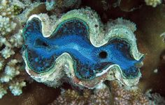 A giant clam is seen nestled among coral reefs at the Obhor coast 30 kms north of the Red Sea city of Jeddah 20 December 2007 AFP PHOTO/HASSAN AMMAR
