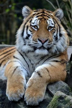 Seien wir ehrlich Tiger candid Lets Tiger Amazing Animals, Most Beautiful Animals, Majestic Animals, Beautiful Cats, Beautiful Creatures, Animals And Pets, Funny Animals, Cute Animals, Tiger Pictures