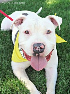Meet Houston, a Petfinder adoptable Pit Bull Terrier Dog | Phoenix, AZ | This…