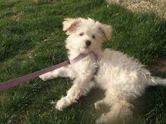 Ev değişikliği nedeniyle yuvasız kalacak Yorkshire Terrier güzelliği yardımınızı bekliyor..