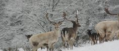 White fallow deer stag in the snow at Lyme, Cheshire. (c) National Trust Images
