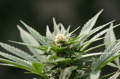 Scientists Discover A Novel Mechanism Of Action Of Cannabidiol Against Lung Cancer Cells