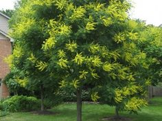 Golden Raintree - Golden Raintree - Species: Koelreuteria paniculata, Zone: 5-9, Height: 30', Spread: 35', Light: Sun, Bloom: Yellow/Jun-Jul, Growth: Medium, Drought Tolerant: High, Notes: Small bright yellow flowers bloom in mid-summer turning to lantern shaped seed pods in the fall.