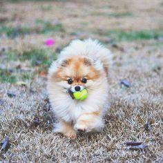Ng's running on the back yard  Никто так не радуется наличию своего двора как Энджи. Кажется, двор небольшой, но шпицу есть где разгуляться и побегать с мячиком