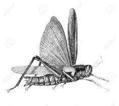 Grasshopper. Illustration Originally Published In Ernst Von Hesse ...