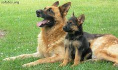 Filhote de cachorro pastor alemão                                                                                                                                                                                 Mais
