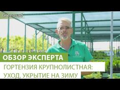 Гидрангея макрофилла (гортензия): посадка и уход за растением в саду