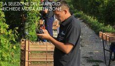 Harvest Life, Harvesting at Allegrini