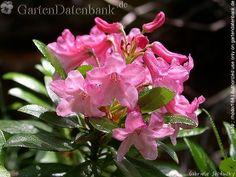 Almenrausch, Behaarte Alpenrose Rhododendron hirsutum