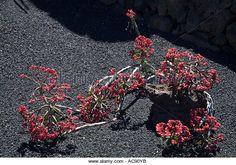 Jardin de Cactus GUATIZA LANZAROTE Cactus garden monadenum coccineum cacti lava flower bed - Stock Image
