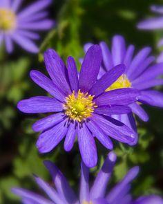 Purple Anemone Blanda