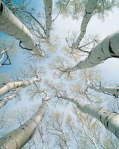 Cool shot (white birch trees)!