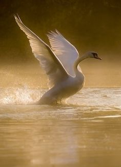 Gorgeous beautiful swan photo of birds. Beautiful Swan, Beautiful Birds, Animals Beautiful, Cute Animals, Beautiful Things, Swans, Cygnus Olor, Tier Fotos, All Gods Creatures