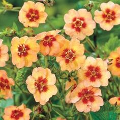 Apricot Tart Potentilla A beautiful yet beneficial ground cover! Sun Plants, Garden Plants, Garden Trees, Love Garden, Lawn And Garden, Apricot Tart, Organic Weed Control, Plant Zones, Rustic Fall Decor