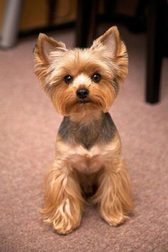 yorkshire terrier  One of my favorite dogs.... this one is a real  cutie pie!!!!