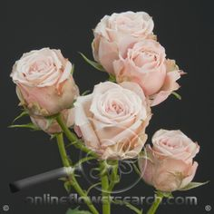 Spray Rose Jana