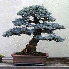 50pcs Evergreen Tree Bonsai Colorado Blue Spruce (Picea pungens) Home Decor View