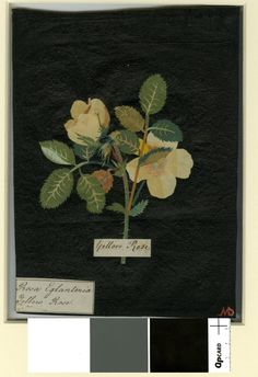 (Icosandria Polygynia), formerly in an album (Vol. 1774 Collage of coloured papers, with bodycolour and watercolour, on black ink background © The Trustees of the British Museum Nature Illustration, Botanical Illustration, Watercolour, Watercolor Paintings, Paper Artwork, Inspirational Wallpapers, Collage Artists, Paper Artist, British Museum