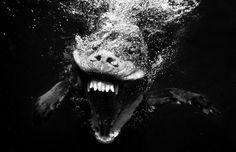 El fotógrafo Seth Casteel (página web parece estar subiendo y bajando, así que aquí tiene Facebook también) capturó estas maravillosas fotografías de perros bajo el agua, haciendo lo que los perros hacen mejor: jugar, ir a buscar, y la natación. Sin embargo, las corrientes submarinas mezcladas con cámara de alta velocidad Casteel han transformado estos perritos adorables en bestias salvajes acuáticos verdad