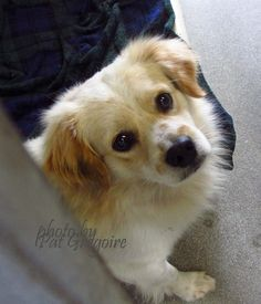 A4812815 I am a very friendly 1 yr old male white/brown Cocker Spaniel mix. I came to the shelter as a stray on March 28. available 4/1/15 Baldwin Park shelter  https://www.facebook.com/photo.php?fbid=949115868433584&set=a.705235432821630&type=3&theater