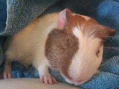 My baby guinea pig