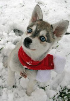Alaskan Klee Kai Mini-Husky Sled dog