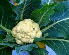 One of the most commonly asked questions we hear a lot about is when to cut cauliflower or how to harvest cauliflower. The answer to these questions can be found in the article that follows.