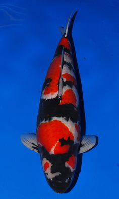 Koi koi koi on pinterest koi butterfly koi and fish for Koi fish farm near me