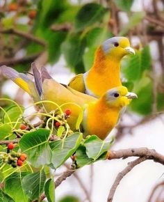 The yellow-footed green pigeon, also known as yellow-legged green pigeon, is a common species of green pigeon found in the Indian subcontinent. It is the state bird of Maharashtra. In Marathi it is called Hariyal. Kinds Of Birds, All Birds, Cute Birds, Pretty Birds, Funny Birds, Beautiful Creatures, Animals Beautiful, Cute Animals, Funny Animals