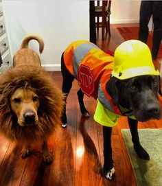 This chocolate lab will pave the way to the jungle, as long as his golden-haired friend stays tame. Find a similar construction worker dog costume at BaxterBoo.com and lion dog costume at Amazon.com.