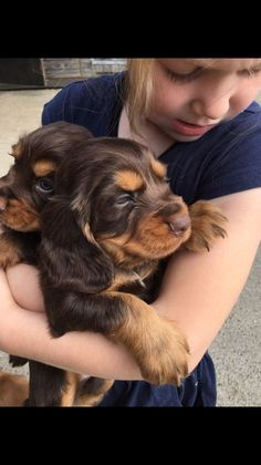 Beautiful litter of show cocker spaniels. Sire is tested PRA clear. Parents can both be seen. Chocolate and tan, Black and Tan and golden. Call or ema. Show Cocker Spaniel, Springer Spaniel Puppies, Spaniel Dog, Spaniels, Baby Animals, Cute Animals, Working Cocker, Cockerspaniel, English Cocker