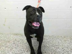 SAFE --- OUT OF TIME!!!! LARRY - ID #A411088 (MUST EXIT ON 3/18)   I am a male, black and white Pit Bull Terrier.   Shelter staff think I am about 2 year old.   I have been at the shelter since Mar 05, 2014.  If I am not claimed, after my stray holding period, I may be available for adoption on Mar 18, 2014. call:  San Bernardino City Animal Control at (909) 384-1304 https://www.facebook.com/photo.php?fbid=10201132665872656&set=a.3186215868195.111836.1649756531&type=3&theater